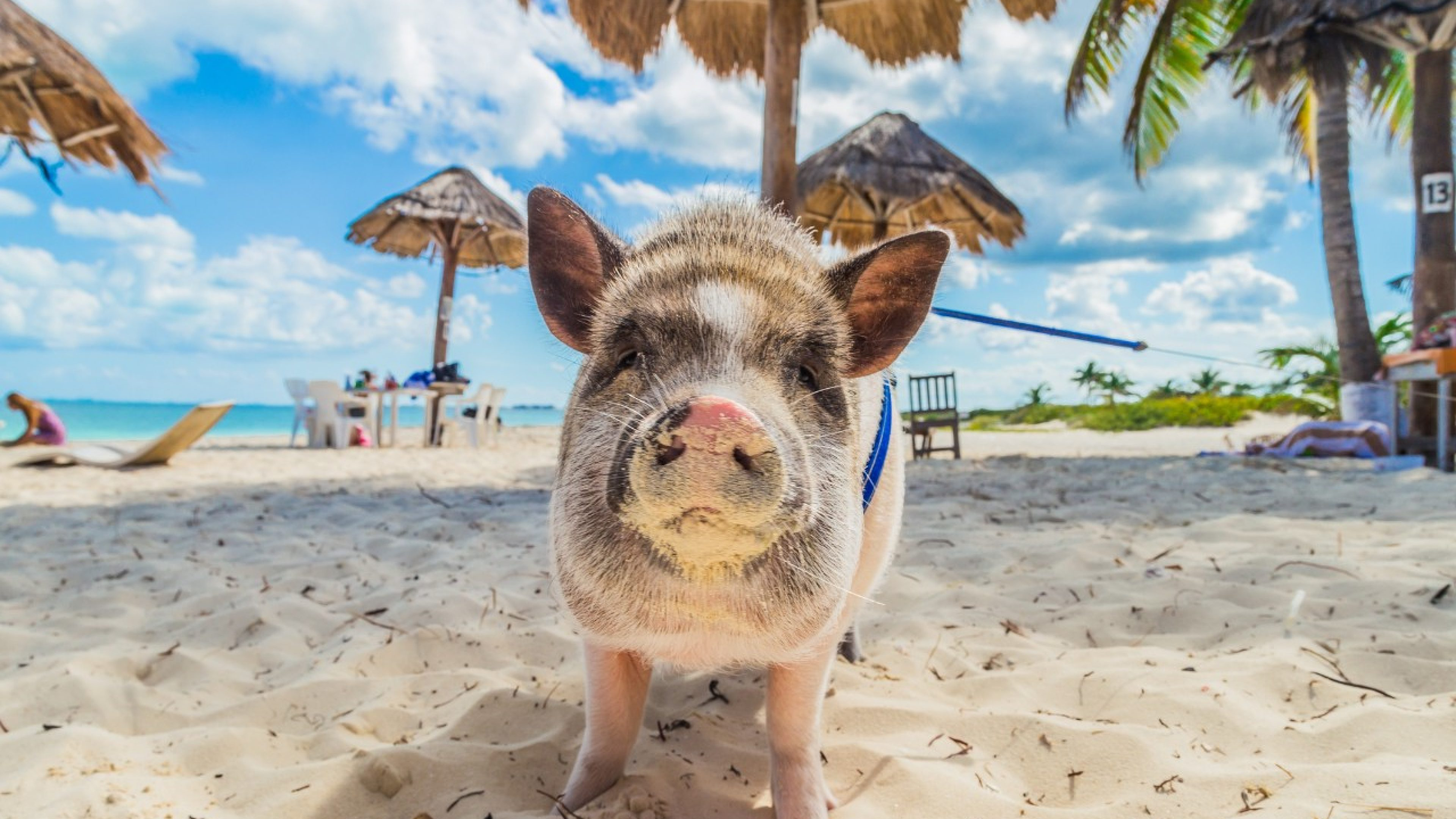 Home Pig walks along the beach in Cancun
